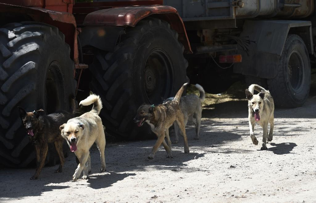 The volunteers admit some of the older dogs are too wild to be adopted, and so they can only be offered medical treatment and then released back into the wild (AFP Photo/Sergei SUPINSKY)
