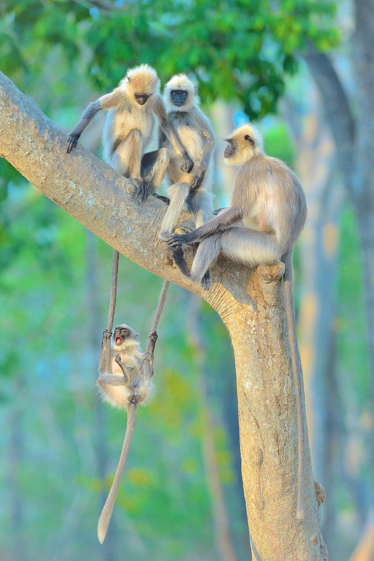 A group of grey langurs
