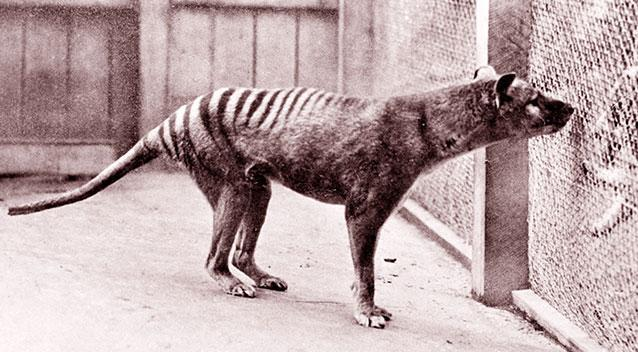 A thylacine in captivity in Hobart in 1930. Source: Getty Images