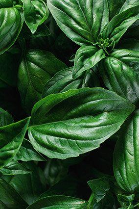 One of the herb's medicinal properties comes from the antioxidant eugenol. Recent lab studies found that this compound sparks anticarcinogenic activity in cervical cancer cells, causing them to self-destruct.