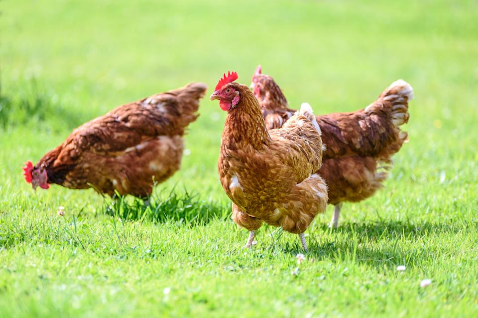 The chickens began as family pets (file picture)  (Photo: WDnet via Getty Images)