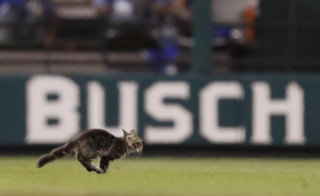 The Cardinals and the organization that found Rally Cat are at odds over who owns the animal. (AP Photo/Jeff Roberson, File)