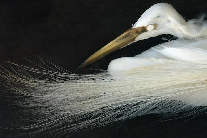 <p>Snowy egret, from the collection of the Western Foundation of Vertebrate Zoology. (Photograph by Rosamond Purcell/Courtesy of BOND/360) </p>