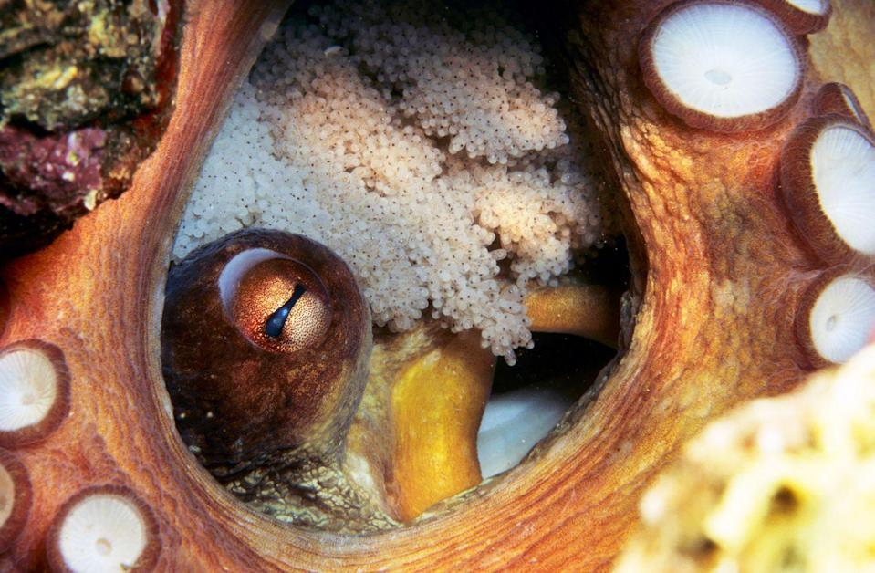 <p>A true underwater wonder, the common octopus (Octopus vulgaris) has three hearts, eight limbs and can change colour and texture, twisting its tentacles into scales, fins or flippers. Also a devoted parent, the female forgoes feeding to watch over clusters of up to 200,000 eggs, gently flushing them with water from her funnel, night and day, to keep them aerated. It is a bitter-sweet endeavour: the super-smart invertebrate only survives long enough to breed just once before succumbing to the sea shortly after the next generation has hatched.</p>