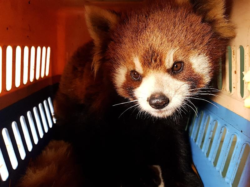 One of three red pandas rescued from traffickers in the Laos city of Luang Prabang, amid fears the rare animals are increasingly being coveted by exotic pet owners (AFP Photo/Handout)