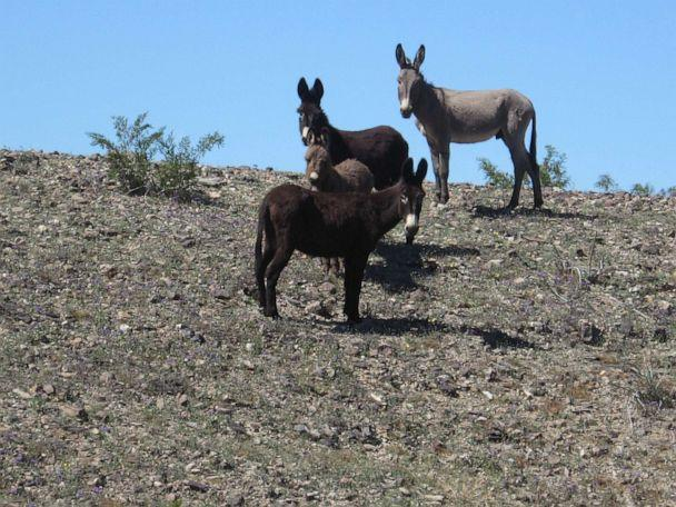 PHOTO: Wild burros from the Clark Mountain Herd Area in California are seen here. (Bureau of Land Management California/Flickr)