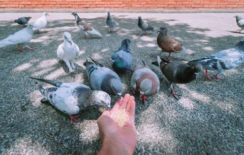 Pigeon numbers have been increasing as vendors and tourists feed them - Credit: getty