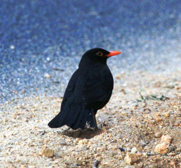 <b>Eurasian Blackbird:</b> This one being widespread in the Western world, features in nursery rhymes, Shakespeare and postage stamps. The male (in photo) is a good vocalist and mimic to boot.