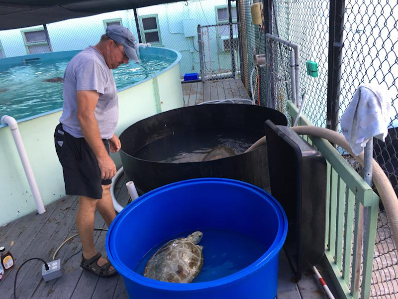 Most of the staff evacuated during Hurricane Irma, but Richie Moretti andTom Luebke stayed behind to tend to the turtles. They provided basic care until the power returned and the rest of the staff was able to come back. (Turtle Hospital)