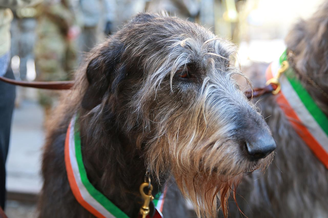 <p>An Irish wolfhound takes part in the St. Patrick's Day Parade, March 17, 2017, in New York. (Gordon Donovan/Yahoo News) </p>