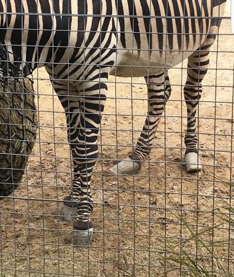 The image of Urias the zebra which caused anger online from animal lovers (Picture: Heather Moffett/Facebook)