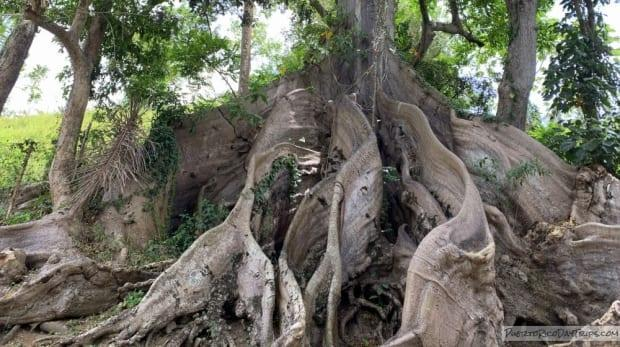 The roots of an inup or ceiba tree in Puerto Rico.