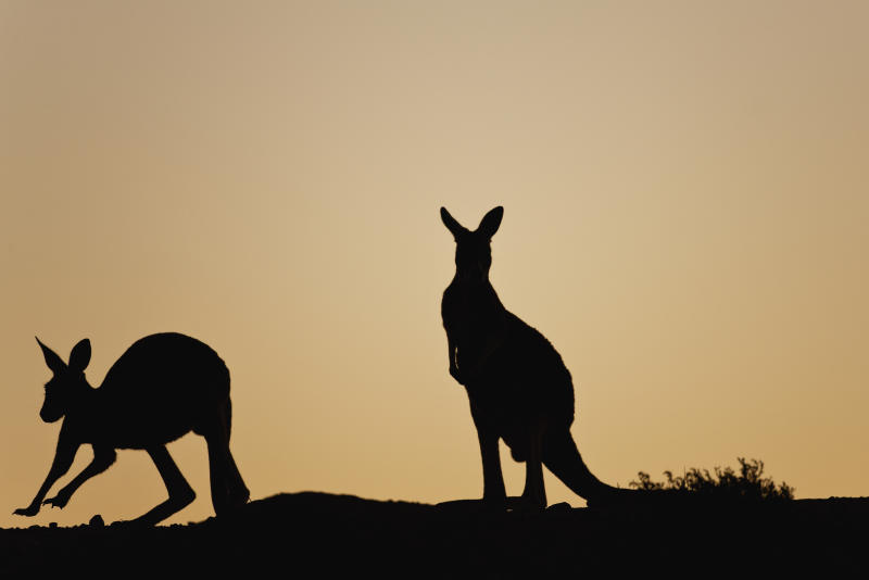 Two kangaroo silhouettes against a brown sunset.