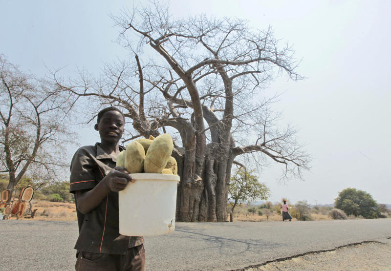 "In this photo taken Wednesday, Sept. 20, 2017, a child with a bucket of baobab fruit stands in front of a giant baobab tree, in Chimanimani, Zimbabwe. Africa's ancient baobab, with it's distinctive swollen trunk and known as the ""tree of life,"" is under a new mysterious threat, with some of the largest and oldest dying abruptly in recent years. (AP Photo/Tsvangirayi Mukwazhi)"