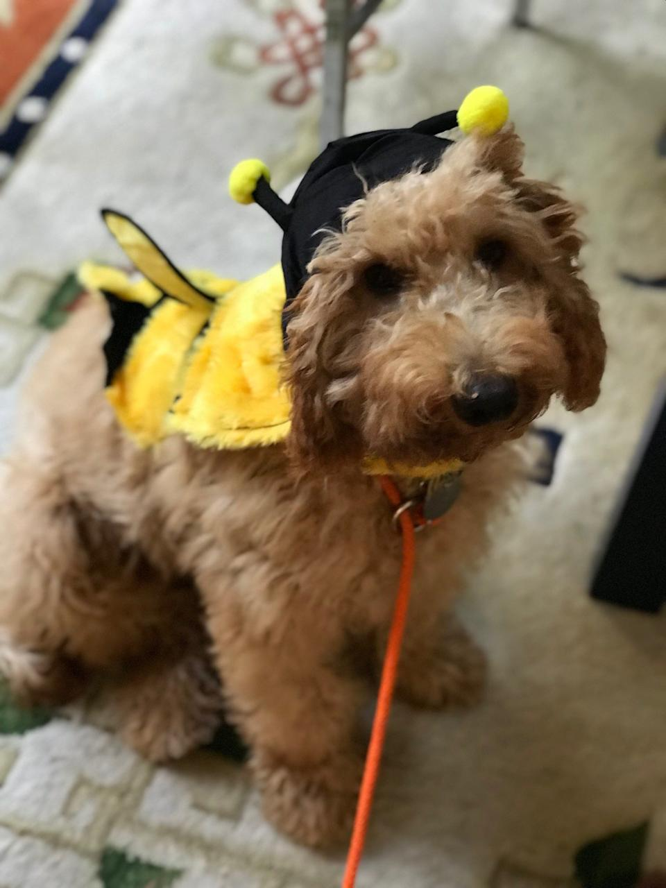A bumblebee on a leash!