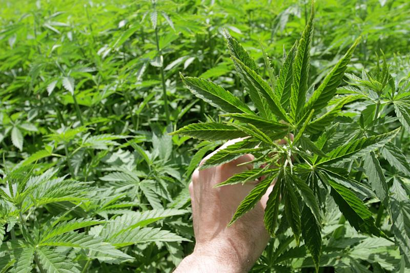 A person holding a cannabis leaf in the middle of a large outdoor grow farm.