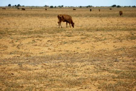 Cattle graze on a barren and parched land at a field in Hoopstad, a maize-producing district in the Free State province, South Africa, January 13, 2016. REUTERS/Siphiwe Sibeko