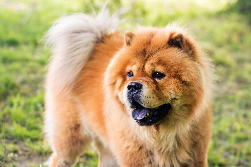 "<p>Martha's favorite breed, the <a href=""https://www.akc.org/dog-breeds/chow-chow/"" rel=""nofollow noopener"" target=""_blank"" data-ylk=""slk:Chow Chow"" class=""link rapid-noclick-resp"">Chow Chow</a>, is a dignified and serious-minded dog with origins as a guardian of ancient China. Their distinctive lion's-mane ruff around the head and shoulders even give them a fierce look but they are not likely to bark.</p>"
