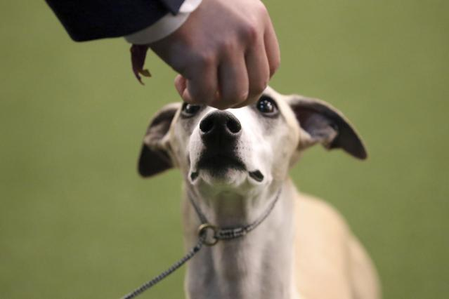 Whiskey the Whippet listens to commands from his handler Justin Smithey during the Best of Breed event at the Westminster Kennel Club dog show on Monday, Feb. 11, 2019, in New York. (AP Photo/Wong Maye-E)