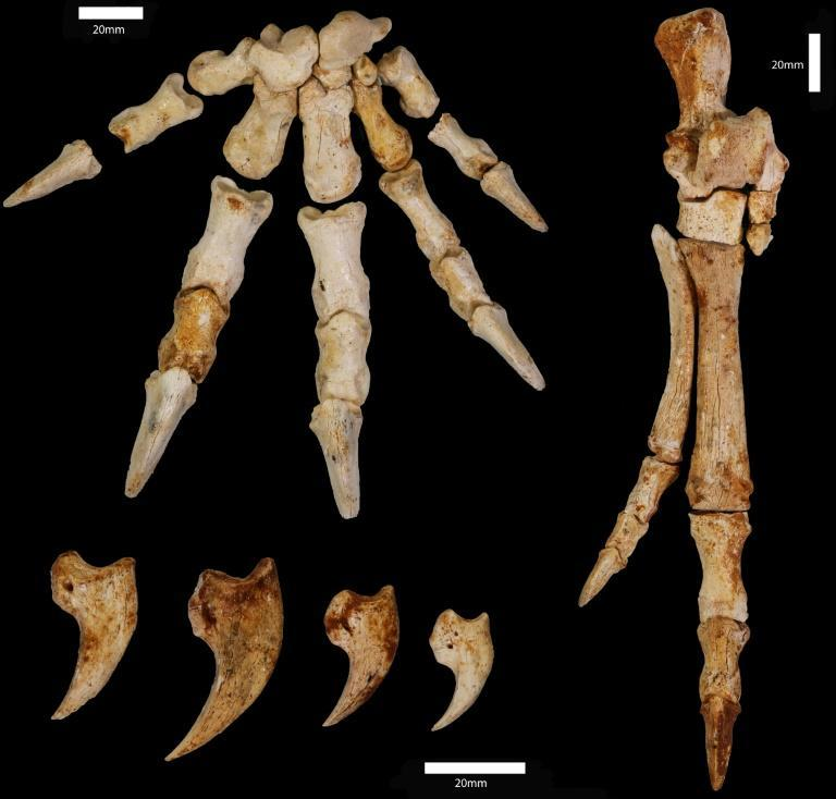 """Fossils of an extinct kangaroo discovered in southwestern Australia show """"hugely unexpected"""" tree-climbing behaviour"""