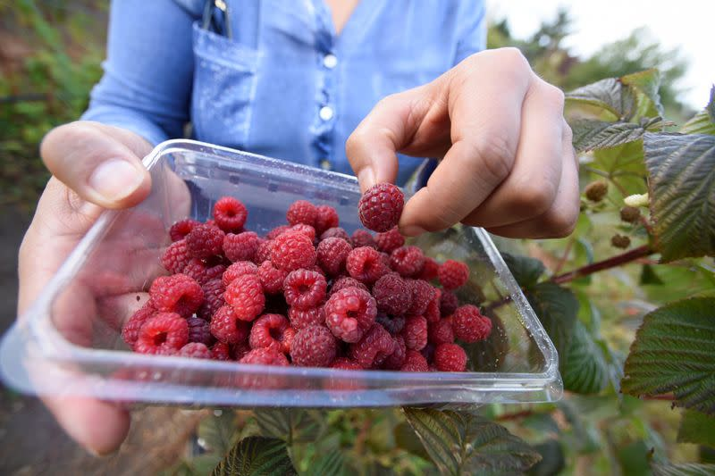 Raspberries are pictured as they are being harvested at a local farm near Chillan