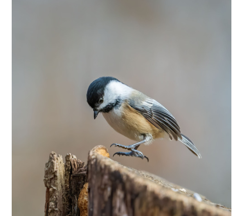 black capped chickadee - bob cote
