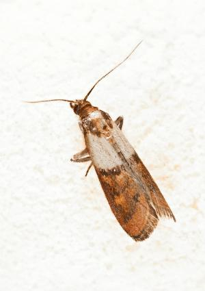 How to Get Rid of Pantry Moths - Moth Detail