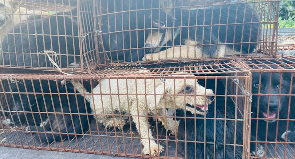 Several dogs sit crammed into rusty wire cages on the back of a pick-up truck.