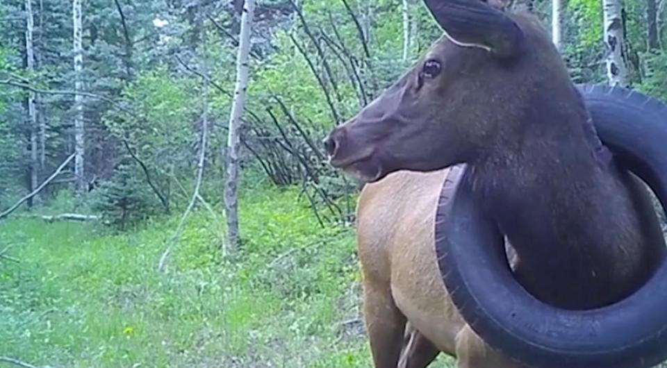 Officials free elk from a tire that was wrapped around its neck for two years