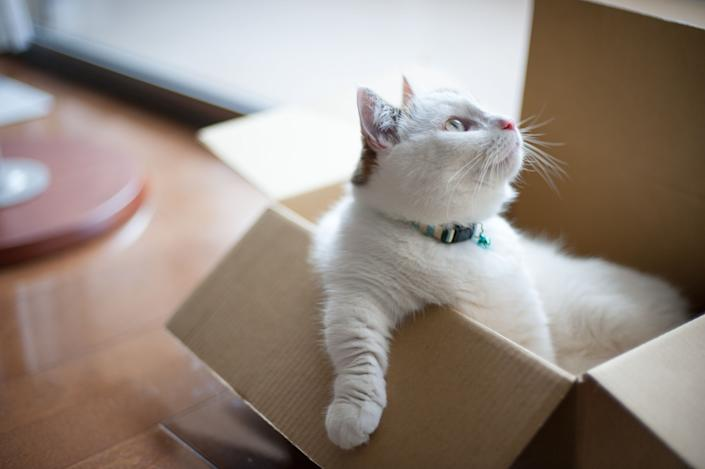 Munchkin cat sitting in a box by the window.