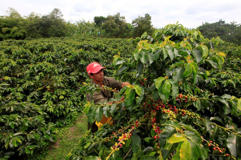 FILE PHOTO: A coffee grower picks coffee fruits in a plantation near Montenegro
