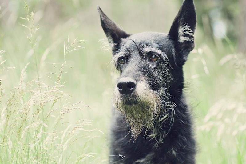 An older dog.