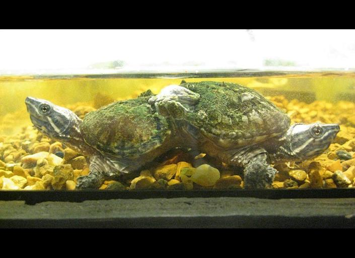 """Sonnenschein likened this unique musk turtle to the Pushmi-pullyu from the """"Dr. Dolittle"""" story."""