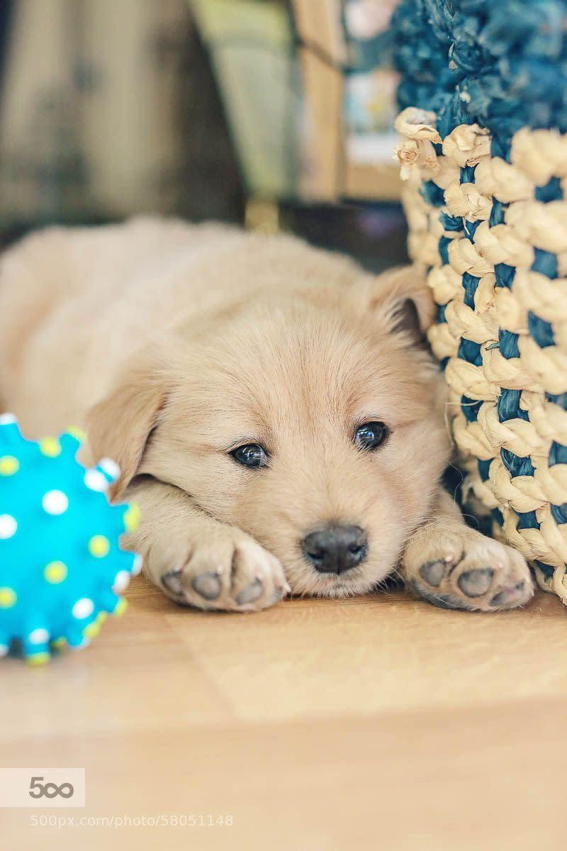 Get ready to see a ton of photos of this cute little guy we just brought home last night. Henry is a 6 week old Golden Retriever and this was just a quick snapshot as he was settling in today.