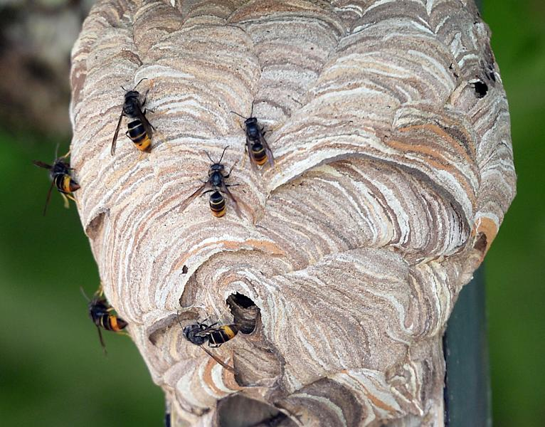 A nest of Asian hornets is seen in Saint-Paul-les-Dax, southwestern France, on August 5, 2014 (AFP Photo/Jean-Pierre Muller)