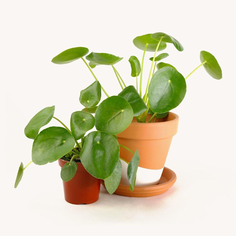 """<p><strong>Hey Horti</strong></p><p>heyhorti.com</p><p><strong>$28.00</strong></p><p><a href=""""https://heyhorti.com/collections/plant-selection/products/pilea-perperomioides"""" rel=""""nofollow noopener"""" target=""""_blank"""" data-ylk=""""slk:Shop Now"""" class=""""link rapid-noclick-resp"""">Shop Now</a></p><p>If you've been blessed with a kitchen that gets visits from the sun quite often, go for this beaut that loves (and v much needs) all the sunshine. May I add that <em>direct </em>light isn't necessary, though, if that's helpful info!</p>"""