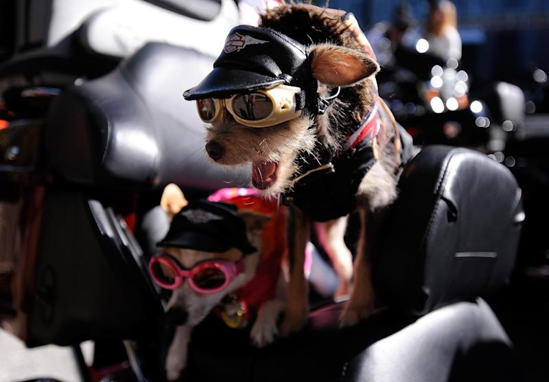 Chihuahas Duke, right, and Daisy, prepare to ride aboard their owner's Harley-Davidson motorcycle to start the annual Veterans Day Parade through downtown Atlanta, Saturday, Nov. 10, 2012. (AP Photo/David Tulis)