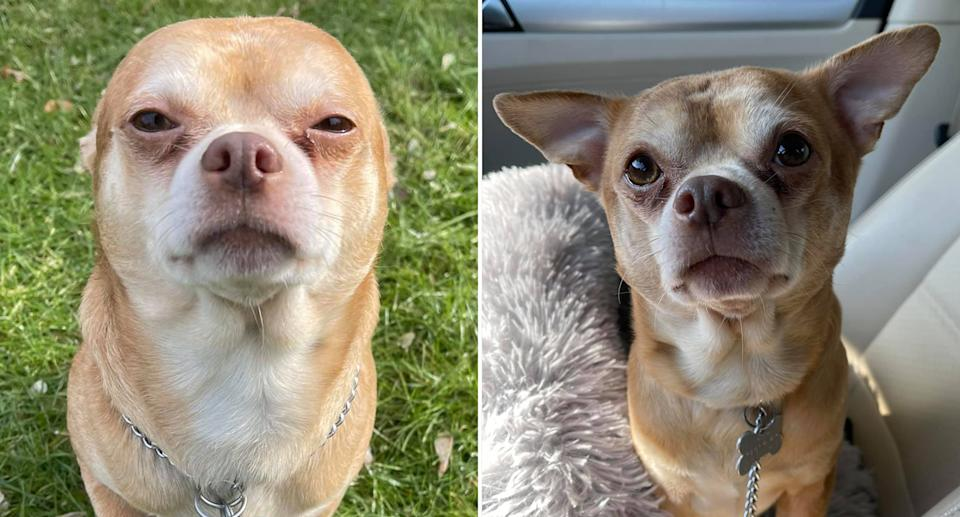 Prancer the chihuahua is looking for a new home