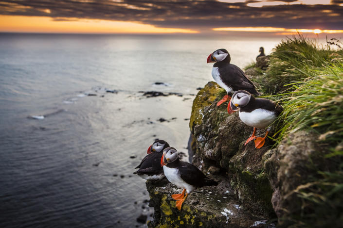 A group of puffins in the top of a cliff at sunset