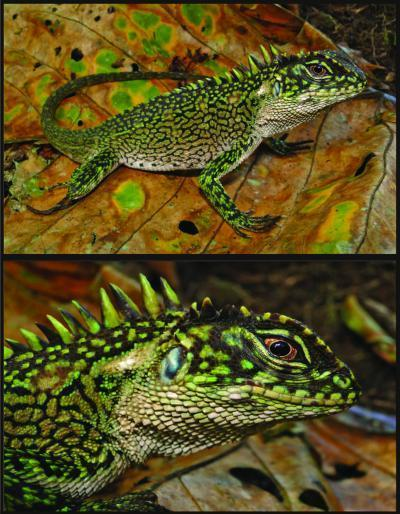 2 New Lizard Species Discovered in Peru