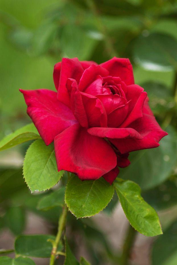 <p>This intensely fragrant hybrid tea rose was bred in the 1960s by an Oklahoma State University grad and is the state's official flower. It blooms in summer and does best in warm temperatures. </p>