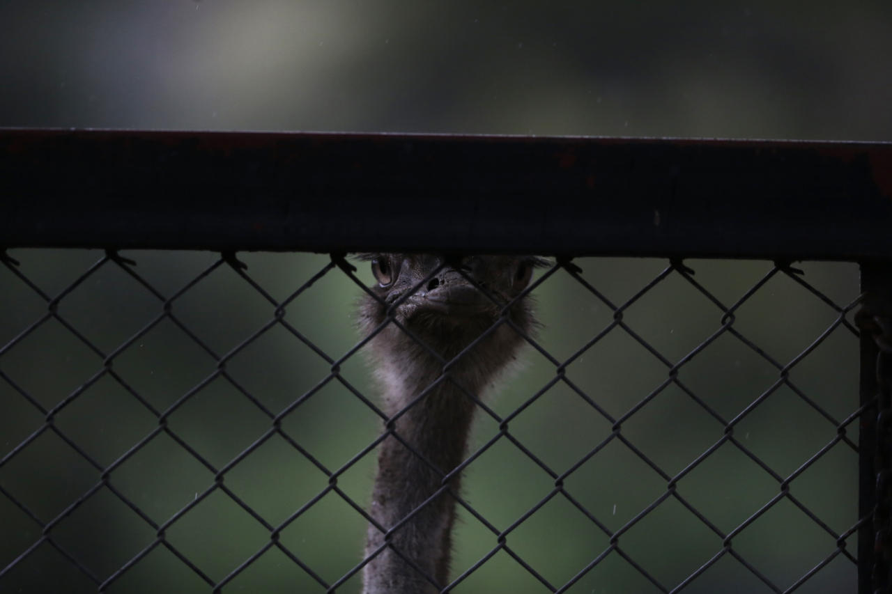 In this July 2, 2016 photo, an ostrich looks out through the open weave of a chain-link fence at the former city zoo now known as Eco Parque, in Buenos Aires, Argentina. Conservationists complain that the animals still live in antiquated enclosures widely considered inhumane by modern standards, and say the city government's new plan gives few specifics of how improvements will be made. (AP Photo/Natacha Pisarenko)