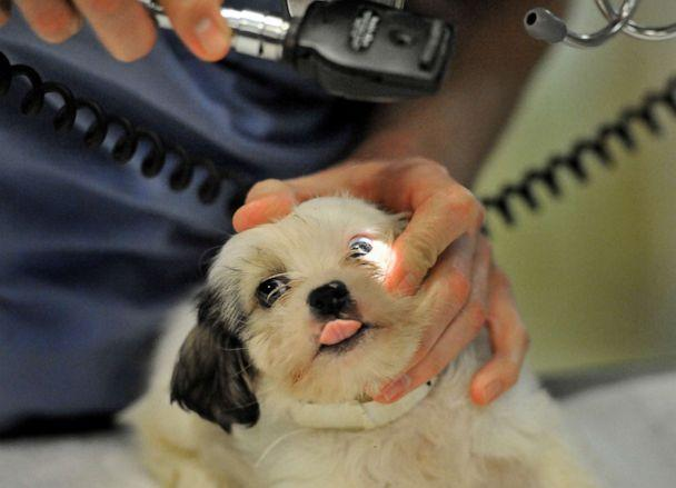 PHOTO: Washington Animal Rescue League staff veterinarian Dr. Danny Shillito checks the eyes of a puppy rescued from an accused puppy mill from Hot Springs, Ark., Dec. 23, 2011, in Washington, D.C. (The Washington Post/Getty Images, FILE)