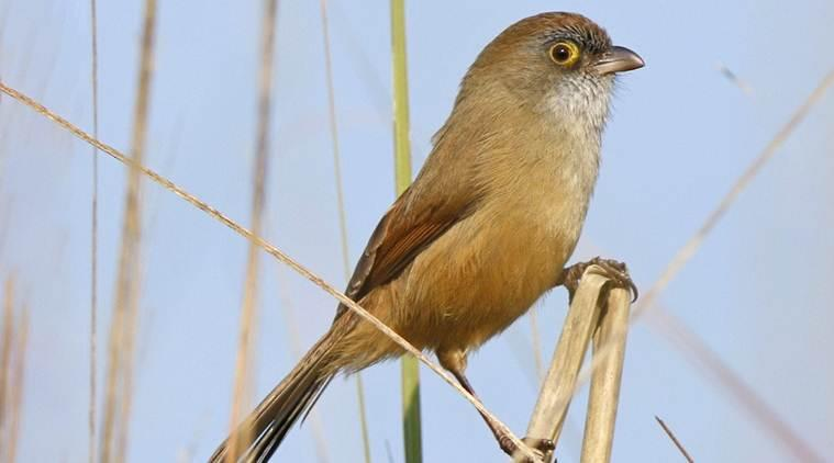State of India's Birds Report 2020, Jerdon's Babbler, chandigarh news, punjab news, indian express news