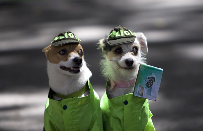 Two dogs dressed as police officers look on during a protest defending animal rights in Bogota, Colombia, Sunday, Oct. 2, 2011. (AP Photo/William Fernando Martinez)