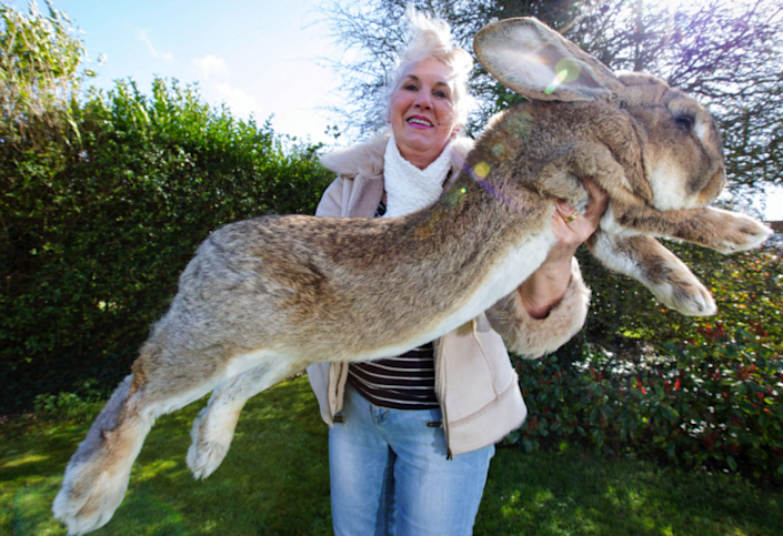 Simon was the son of Darius, the world's largest rabbit (Picture: Caters)