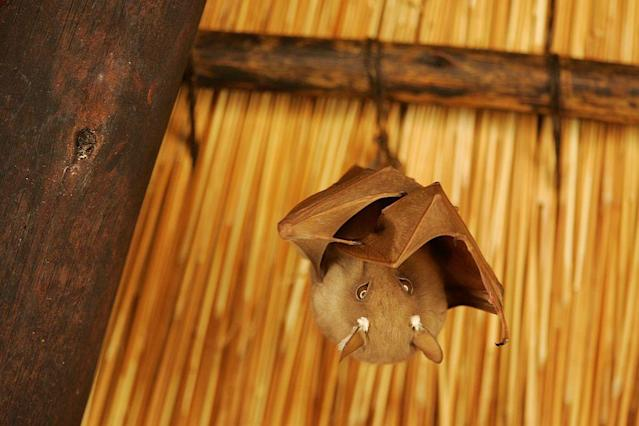 A fruit bat hangs from a hut roof in Kruger National Park near Hazyview, Mpumalanga, South Africa.