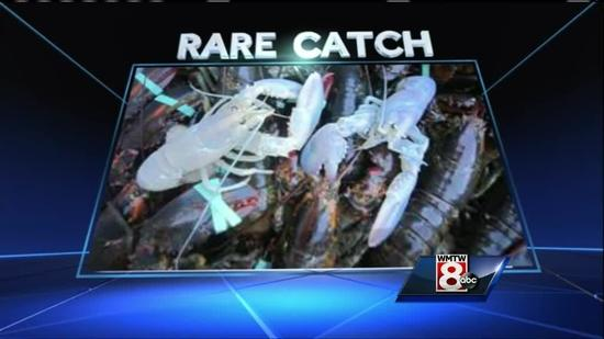 Two rare albino lobsters were caught off the Maine coast in the past week. Both of the lobsters were brought to the Owls Head Lobster Company in Owls Head. The University of Maine's Lobster Institute says the odds of catching a single albino lobster