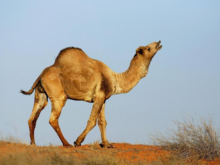 The camel population would double every eight to 10 years without culling: Getty