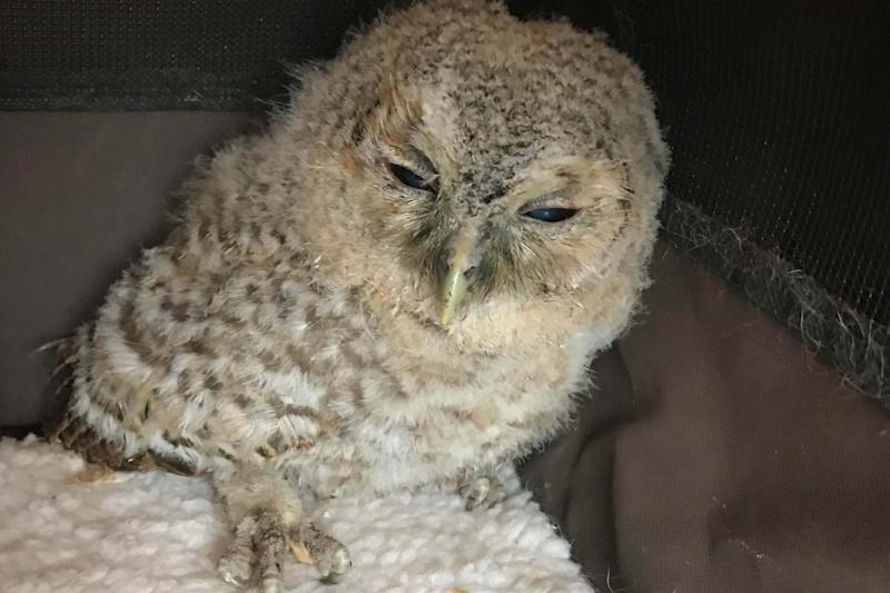 The underweight tawny owl fledgling was rescued in Mildenhall in Suffolk on April 1 after it was spotted by a dog walker: PA